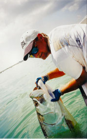 Releasing Beach Tarpon
